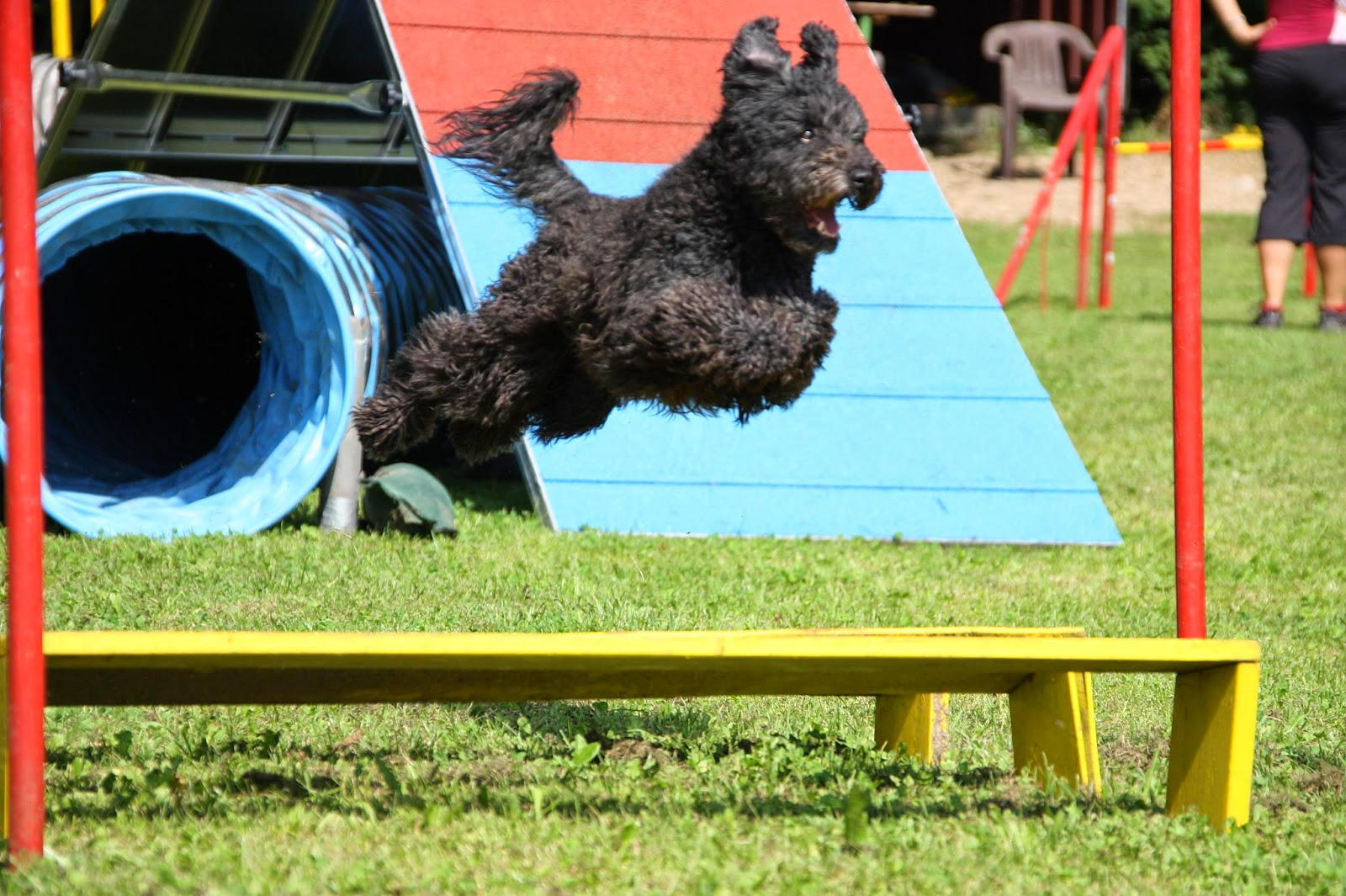 Dana (without kennel-name) from a breeder in Belgium. Her grand-father was Miklos, the most famous agility-pumi from Finland in the 1990s