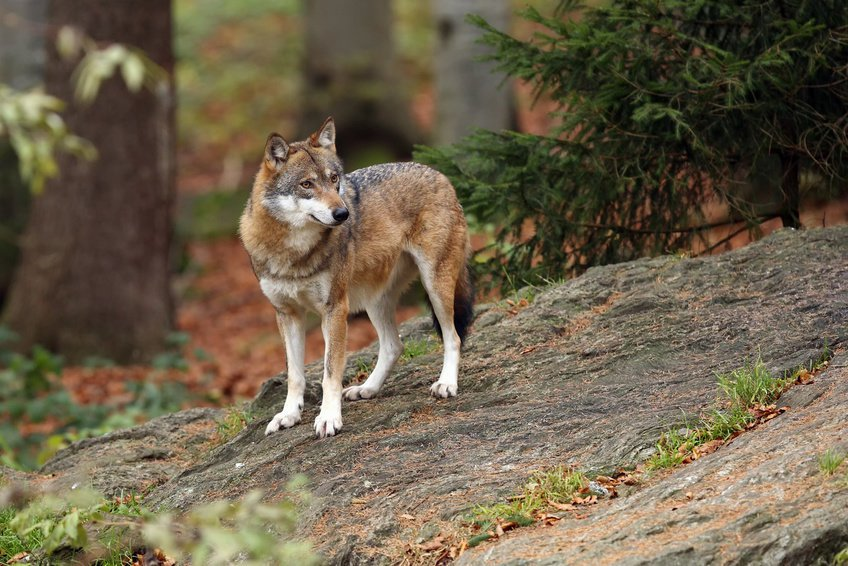 The gray wolf. Credit: © Karlos Lomsky / Fotolia