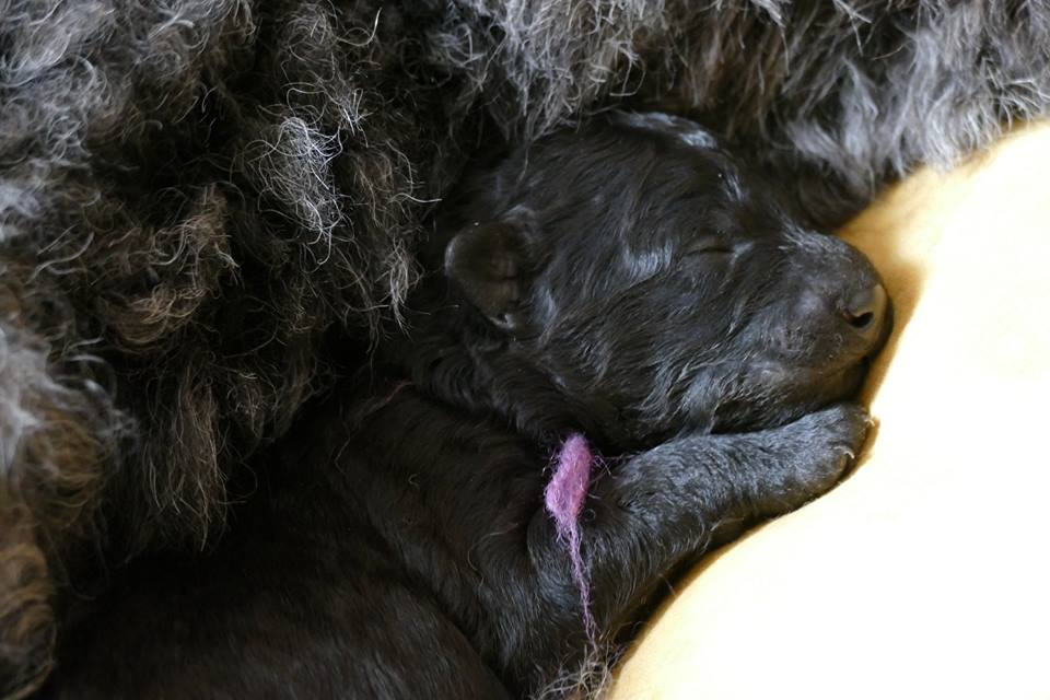 PUMI Male Lilas - Litter E - 13 avril