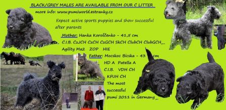 Bohemia Vivace C litter - male puppies for available
