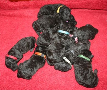 The puppys of Enya are now 1 week old and doing great!-Twister's Pumikennel.