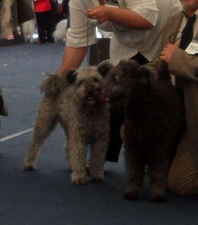 Pattogo-Parazs Arany silver grey female and Apoka dark grey male from the same A litter are both Junior Word Winner.