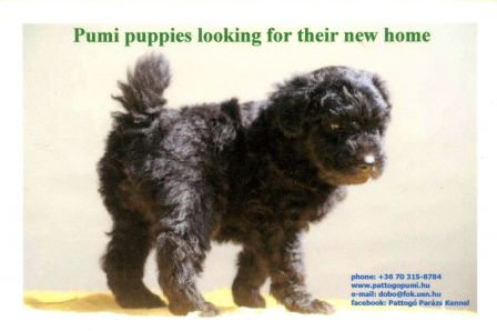 Pumi puppies looking for their new home - www.pattogopumi.hu