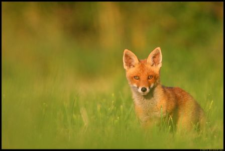 Rebasenooruk, Red Fox, Vulpes vulpes July 21st, 2011 by Remo Savisaar